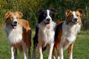 самые умные собаки породы