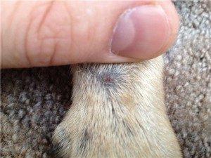 симптомы стафилококка у собак