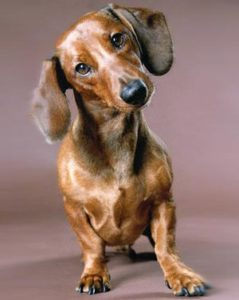 такса уход и содержание собаки