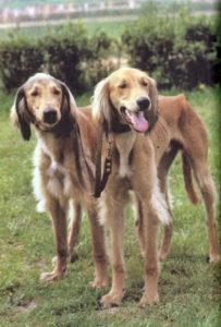 собаки породы тазы