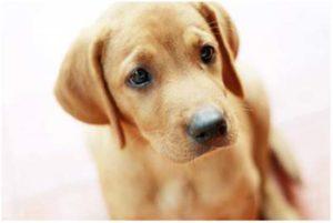 как проходит беременность у собак