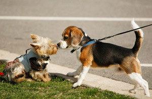 первая течка у собак