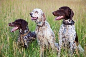 охотничьи псы