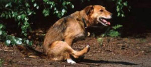 чем опасны глисты у собак