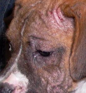 демодекоз у собак причины