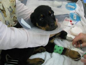 энтерит у собак лечение