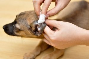 профилактические меры борьбы с ушным клещом