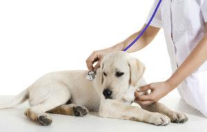 воспаление органов дыхания у собак