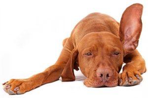 виды отита у собак