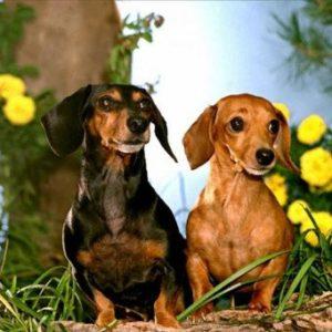 особенности вязки собак