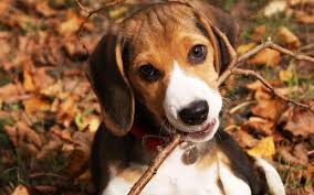 что говорит о готовности собаки к вязке