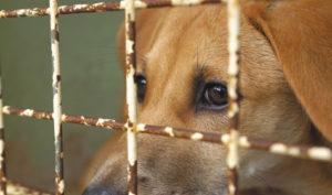 вольерный кашель у собак