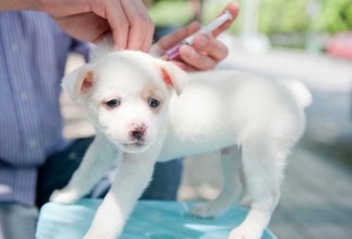 Гулять с собакой после первой прививки