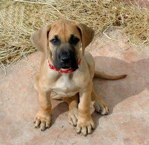 особенности собак крупных пород