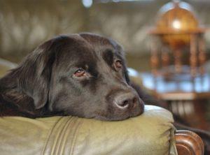 коронавирусный энтерит собак