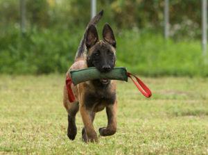 необходимость дрессировки собак
