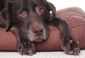 мастит у собаки