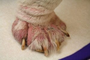 лечение паталогии демодекоза у собак