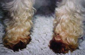 малассезионный дерматит у собак лечение