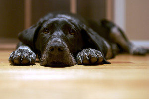 мастит у собаки причины