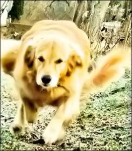 температура при нагрузках у собак
