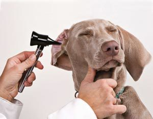 осложнения после отита у собак