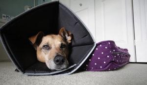 уход за стерилизованной собакой1