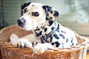 признаки начала родов у собаки