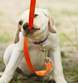 приучить собаку к поводку и ошейнику