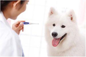 температура у собак