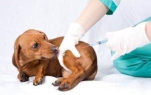 когда вакцинировать щенков
